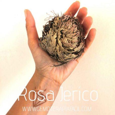 rosa de Jericó gemoterapia facil